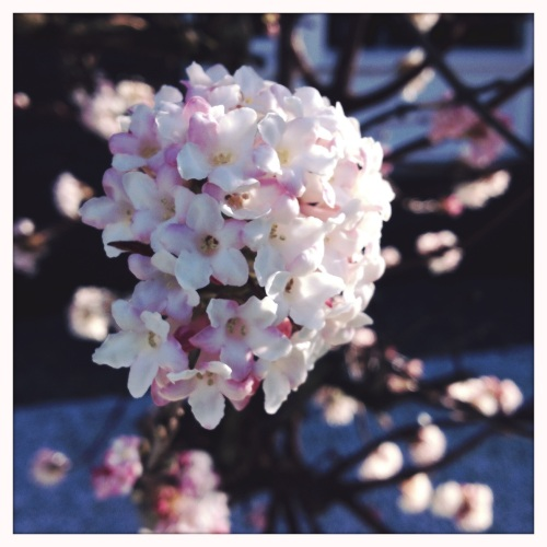 Wat nou winter?..de kers bij de buren staat al in bloei.