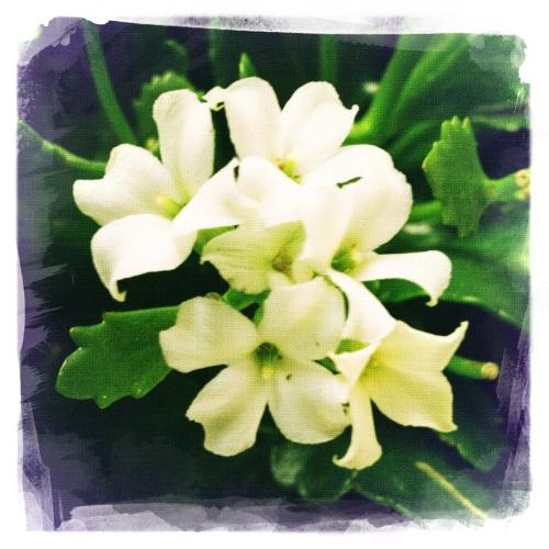Lieve witte bloemetjes, niet om buiten te zetten.