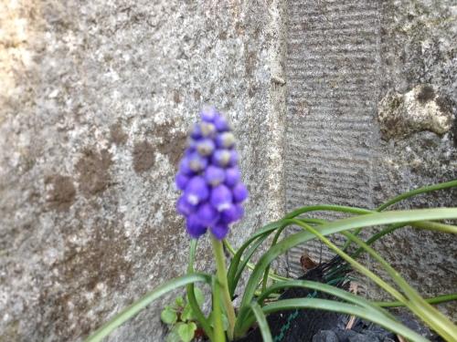 Op het kerkhof ontdek ik een blauw druifje.
