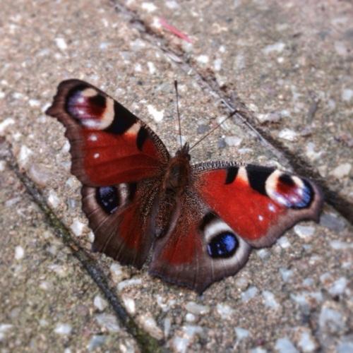 Hij vliegt  niet. Een vlinder maakt ook nog geen lente.