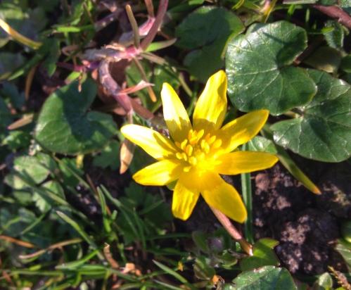Nog meer bloemetjes, speenkruid als ik het goed opgezocht heb...lief en zonnig geel. Nog geen bijtjes gezien.