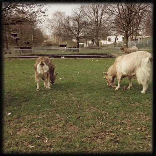 en geiten