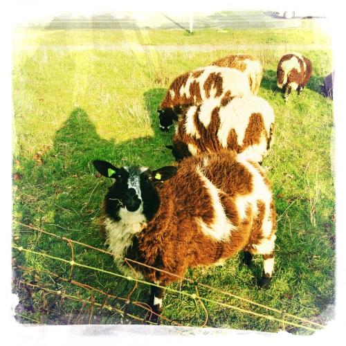 Ah...de schapen zijn weer ingezet voor het kortwieken van het gras. Natuurlijke natuurbeheersing.