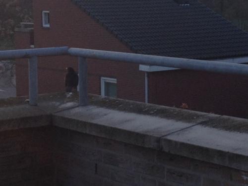 Vanochtend had ik gezelschap op het balkon. De huismerel bracht een ode aan de opkomende zon, of hij had gewoon goede zin, dat kan ook.