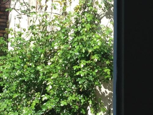 Onze huismerel is aan een nest begonnen in de rozenstruik. Ik ben steeds te laat met afdrukken of hij is me gewoon te snel af. Hoe dan ook, er wordt gebouwd.