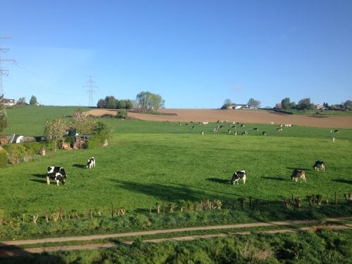 De koeien kijken er niet van op.