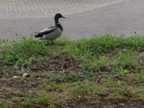 Geen kip tegengekomen op mijn pad, wel een eend