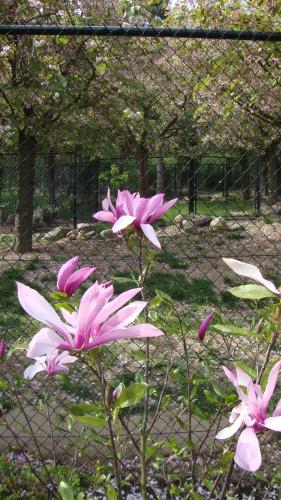 Sierlijke Magnolia