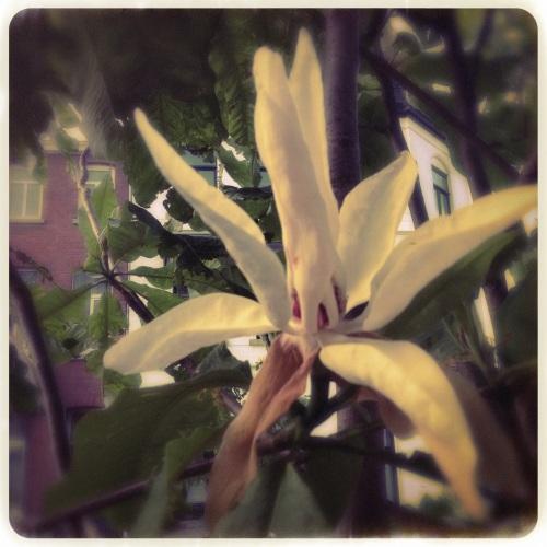 Ik weet nog steeds niet wat voor een struik/boom dit is. De bloemen doen bijna exotisch aan.
