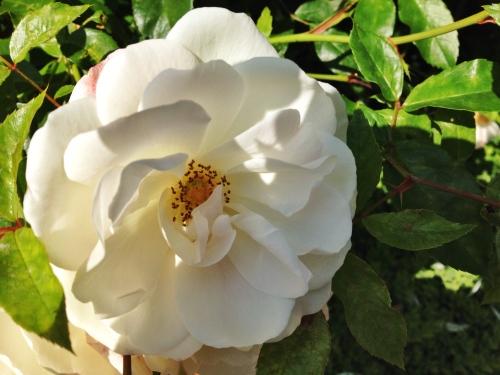 Bijna thuis spot ik nog een roos.