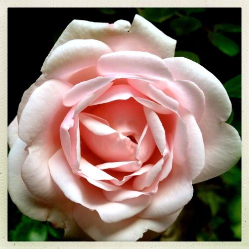 De rozen staan in volle bloei..
