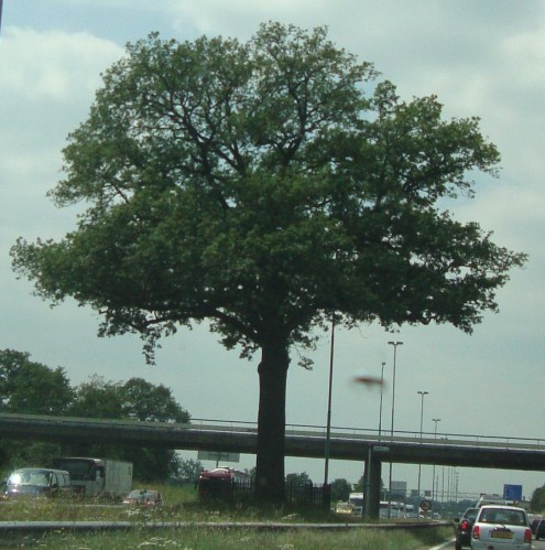 Ik heb me hier al vaker over verbaasd. Een gigantische boom op de middenberm met een hekje er omheen