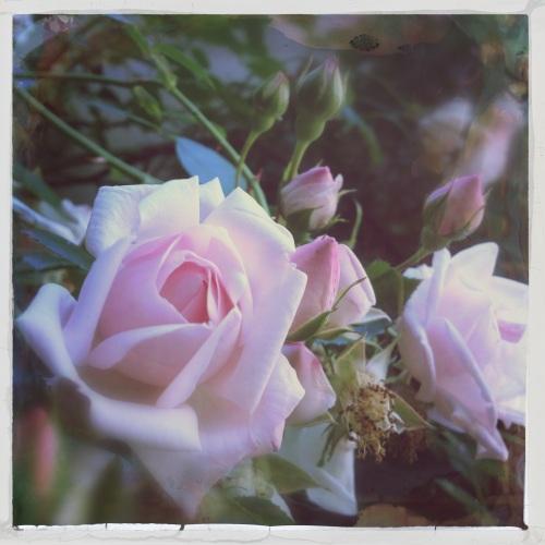 De rozen staan in volle bloei.