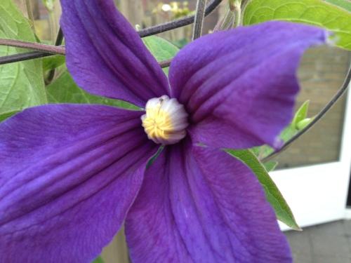De blauwe clematis bloeit...mooi toch?