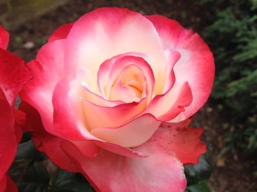 Zo'n mooie roos lijkt me wel wat.