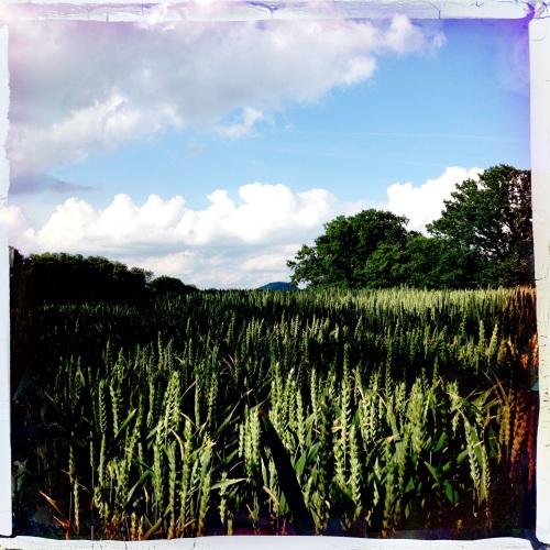 Het graan staat al aardig hoog.