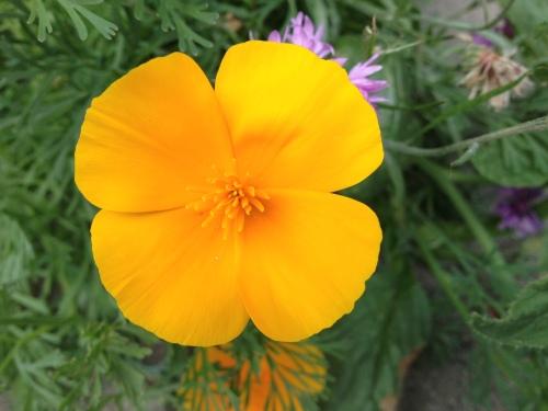 Ik kom een oranje bloemetje tegen