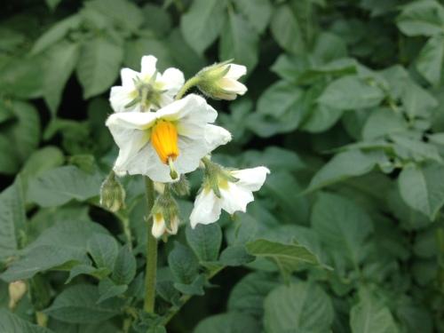 Ooit een aardappelplant van dichtbij bekeken? Hoe mooi is deze bloem?