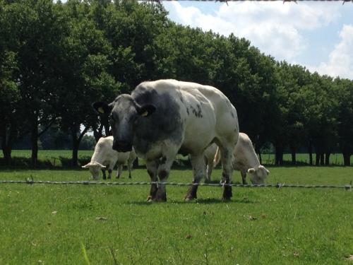 Verderop kom ik koeien tegen.