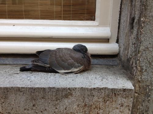 Een duif voor pampus?
