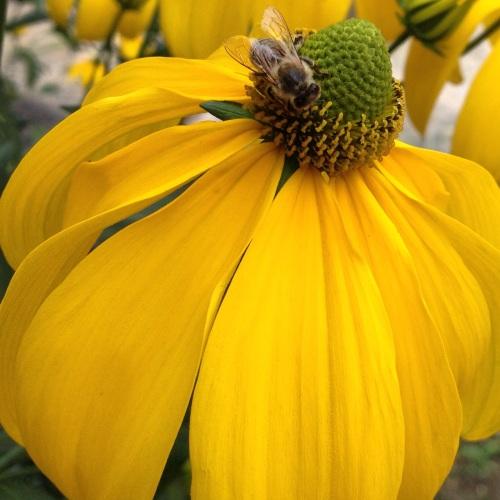 Bijen op zoek naar nectar, geen oog voor iets anders.