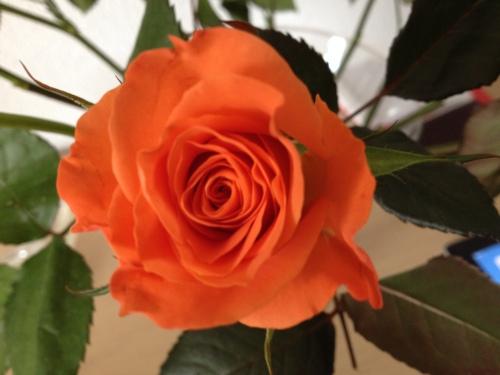 De regen valt  met bakken uit de lucht. Gelukkig hebben we de rozen nog. Dag dag...
