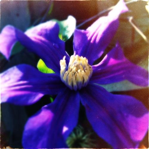 De clematis begint aan een tweede bloei.